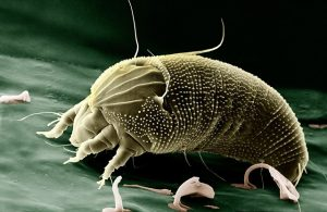 The House Dust Mite is a cosmopolitan pyroglyphid that lives in human habitation.